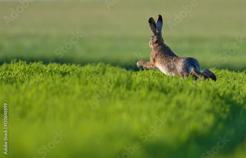 Fototapeta European hare leaping across