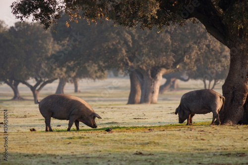 Iberian pigs grazing in the landscape Canvas Print