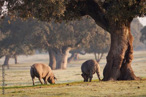 Fotografía  Iberian pigs grazing in the landscape