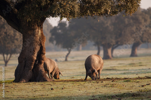 Fotomural  Iberian pigs grazing in the landscape