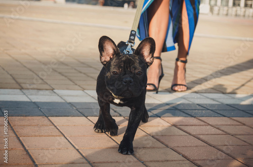 Deurstickers Franse bulldog Black french bulldog puppy walking in the street