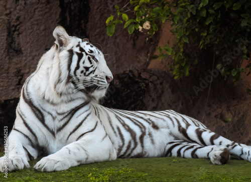 Fotografie, Obraz  Black and White Striped Tiger