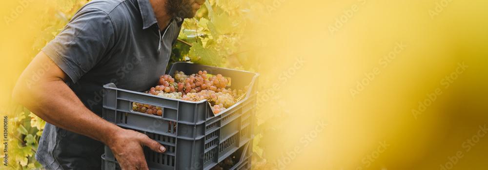 Fototapety, obrazy: Harvest in the Italian hills.