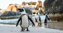 African Penguin ( Spheniscus D...
