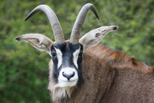 Roan Antelope Close Up Portrai...