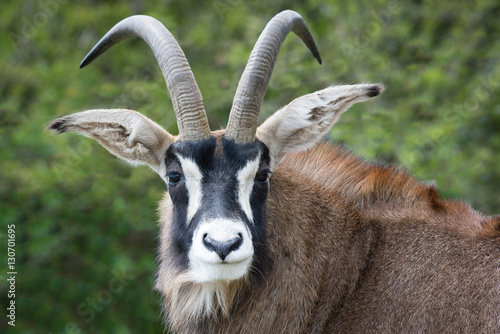 Roan antelope close up portrait. Staring forward and looking at viewer