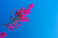 Branch Of Red Bougainvillea On...