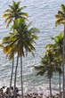 coconut palm trees at the ocean