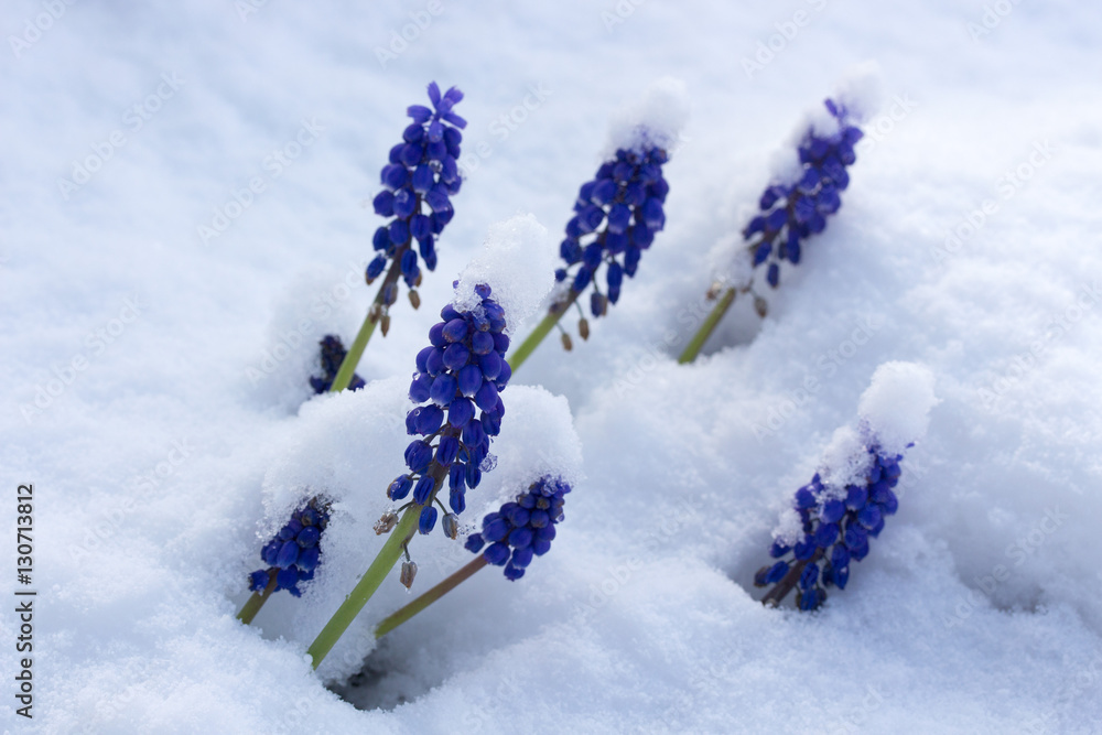 Photo Art Print Fruhlingsblumen Im Schnee Europosters