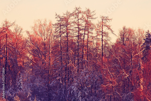 In de dag Crimson nature landscape winter forest frosted