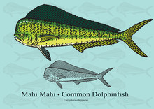 Mahi Mahi, Common Dolphinfish. Vector Illustration For Artwork In Small Sizes. Suitable For Graphic And Packaging Design, Educational Examples, Web, Etc.