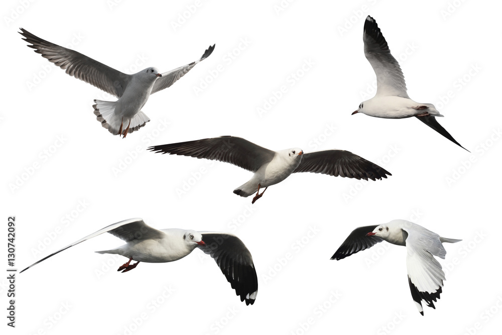 set of seagulls isolated on white background - clipping paths