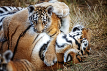 Tigress With Cub. Tiger Mother And Her Cub