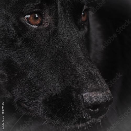 Poster Panter black dog (164) labrador mixed breed