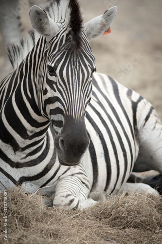 Photo Stands Zebra Zebra's head