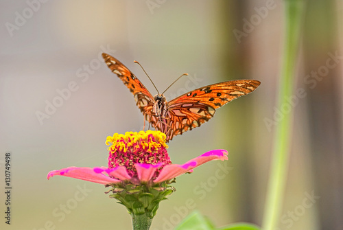 Poster Rose Orange butterfly on a pink flower