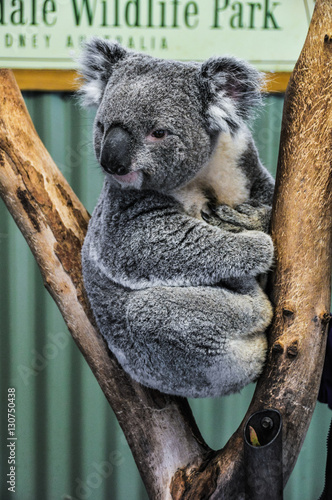 Poster Koala Watching koala in Featherdale Wildlife Park, Australia