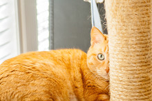 An Orange Camera Shy Tabby Cat Hides Behind His Scratching Pole