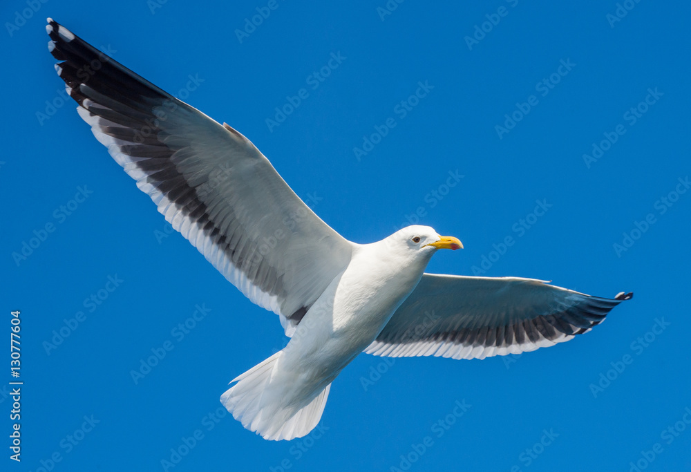 Flying adult Kelp gull (Larus dominicanus), also known as the Dominican gull and Black Backed Kelp Gull. Natural blue sky background