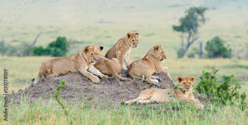 Fotobehang Leeuw Group of young lions on the hill. The lion (Panthera leo nubica), known as the East African or Massai Lion