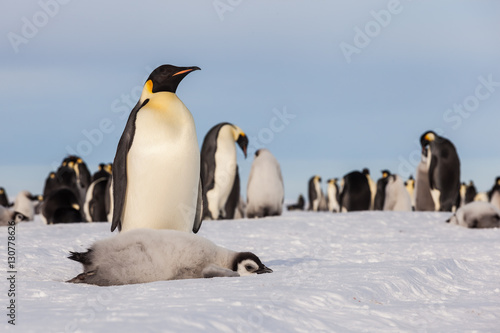 Tuinposter Pinguin Emperor penguin chick laying on ice