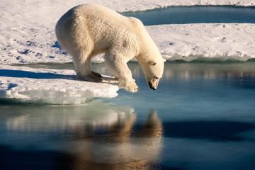 Plakat Polar Bear narcissist