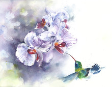 Orchids With Hummingbird Wate...