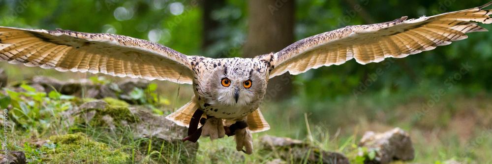 Fototapety, obrazy: flying eagle owl