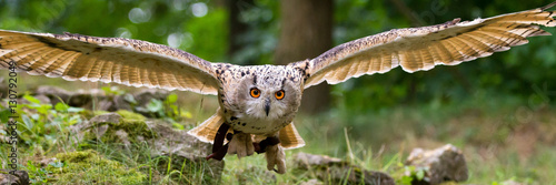 Spoed Fotobehang Uil flying eagle owl