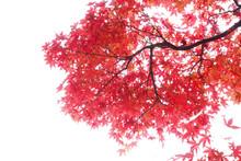 Japanese Red Autumn Maple Tree...