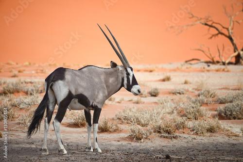 Keuken foto achterwand Antilope oryx in Africa