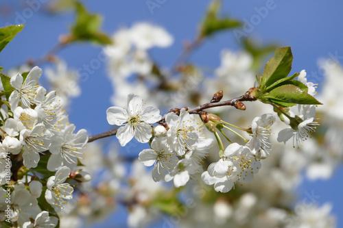 Photo  Blüten am Zweig einer Wildkirsche vor strahlend blauem Himmel