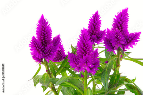 Blossoming purple cockscomb on a white background Canvas-taulu