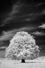 Plakat White tree
