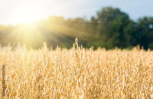 Fotobehang Cultuur organic golden ripe ears of oats in field