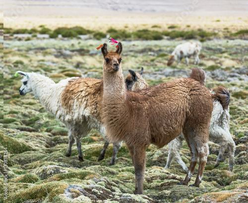 Poster Lama Lama on the Altiplano, Bolivia