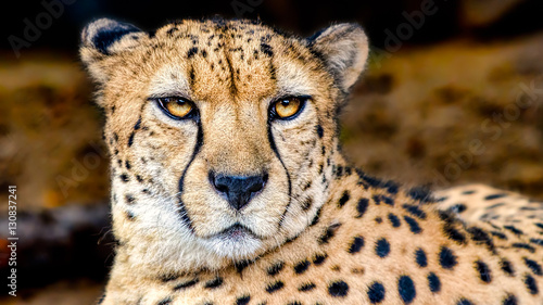 Canvas Print Cheetah Portrait