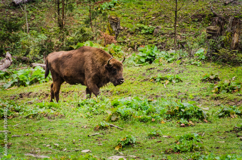 Photo  Herd of Bisons and calf at Bialowieza National Park