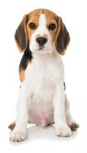 Sitzender Beagle Welpe