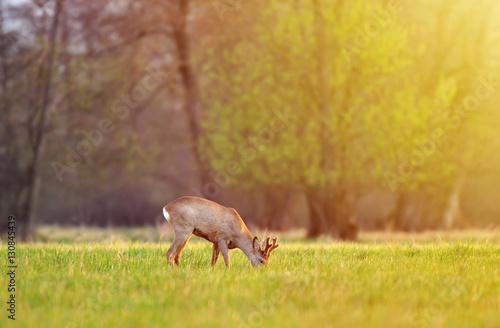 Foto op Plexiglas Ree Roe deer, grazing in a field on early morning