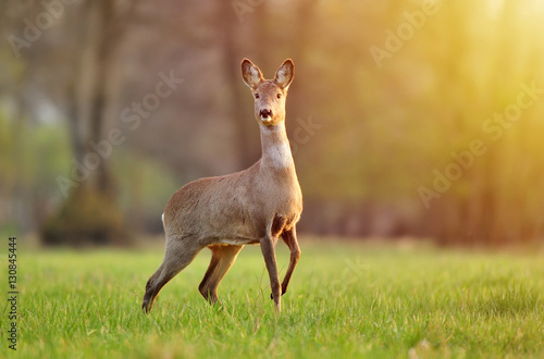 In de dag Ree Wild roe deer in a field