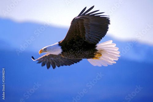 Photo sur Aluminium Aigle Bald Eagle soaring