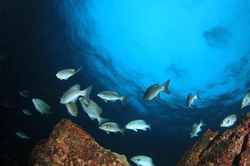 Fototapeta na wymiar Fish school on coral reef in Indian Ocean