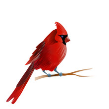 Vector Illustration Of Cardinal