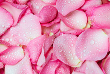 The Fresh Pink Rose Petal Background With Water Rain Drop
