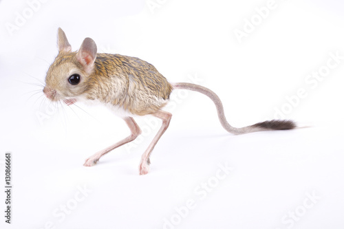 Photo sur Toile Kangaroo greater Egyptian jerboa, Jaculus orientalis