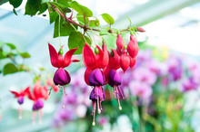 Beautiful Fuchsia Flowers In G...