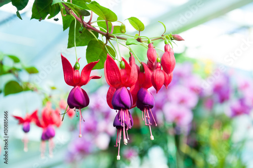 Canvas Print beautiful fuchsia flowers in garden