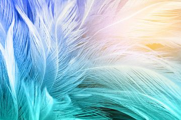 FototapetaGreen turquoise and blue color trends chicken feather texture background,Light orange