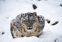 Irbis In Snow
